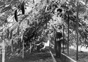 یک گلخانه در ریچفیلد مینستوتا. عکس متعلق به سال 1910